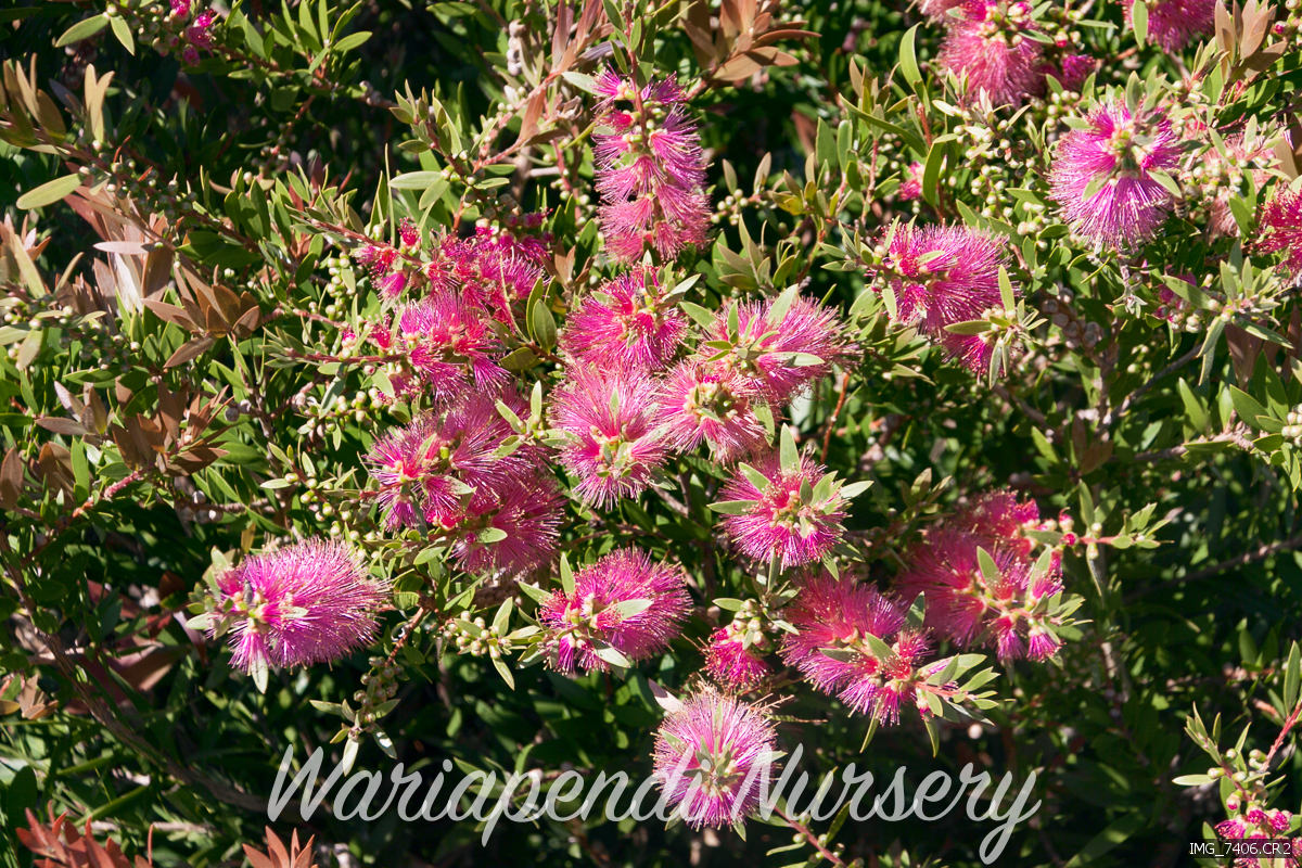 flower gallery  native plant and revegetation specialists, Beautiful flower