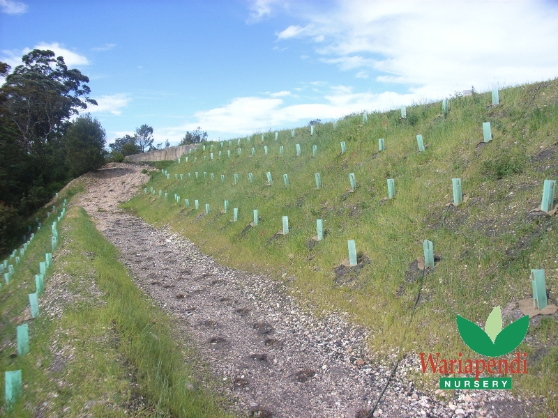 Mine rehabilitation planting