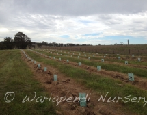 Farm tree planting for shade and shelter