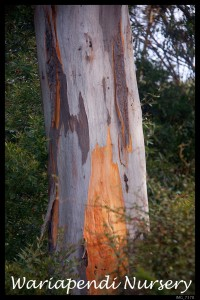 Eucalyptus punctata (Grey Gum) - One of the Koala's favourite food sources.