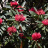 Waratah's putting on a great show in spring