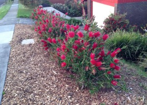 Callistemon 'Endeavour' kept pruned to provide a low hedge