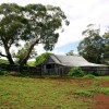 Eucalypt providing shade to farm buildings