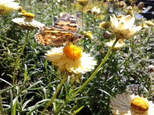 Australian Painted Lady resting on a Bracteantha Mallee Sun