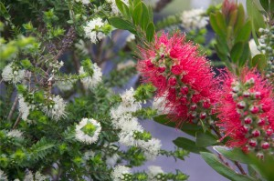 Melaleuca squarrosa and Callistemon citrinus