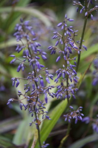 Dianella - Blue Flax Lily